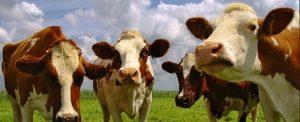 Blue Tongue, per la Sicilia uno status unico per favorire la commercializzazione dei bovini