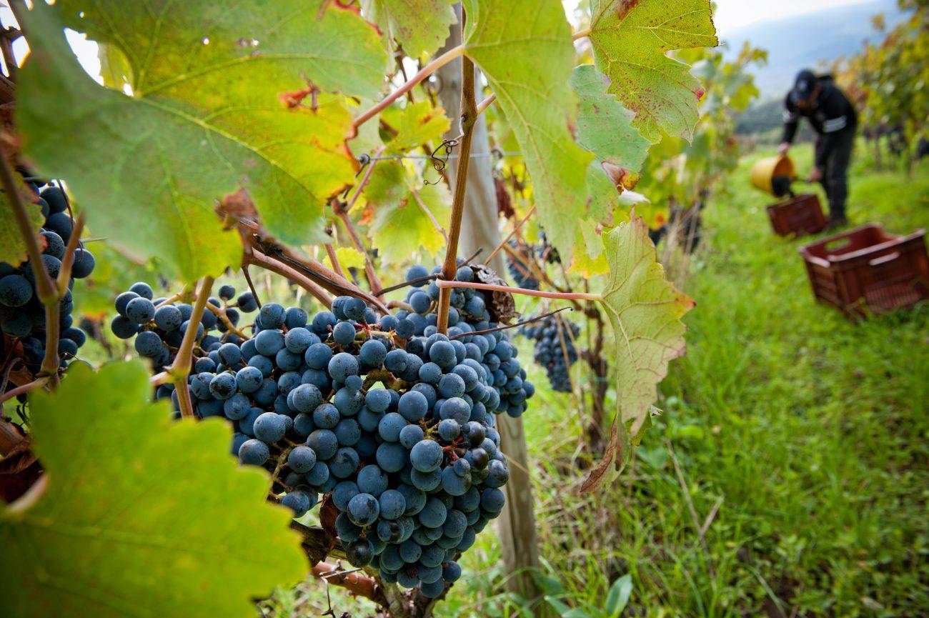 Vinitaly, cresce la presenza siciliana Pronta la sfida con i vitigni autoctoni